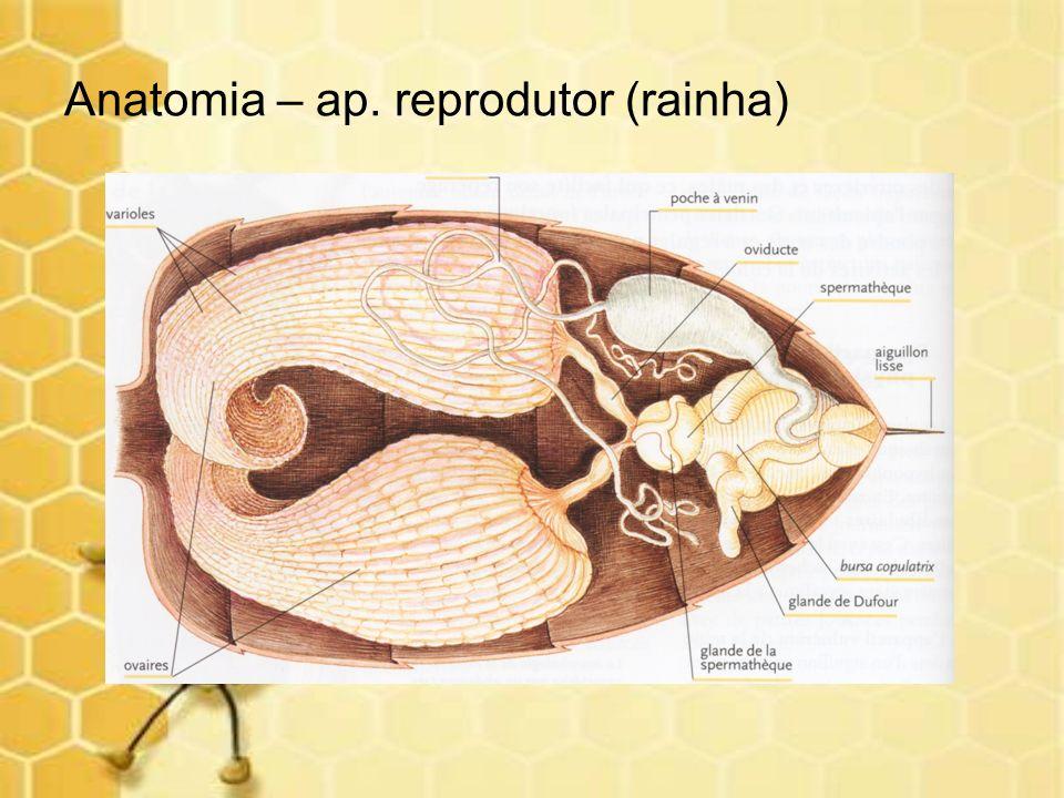 Anatomia – ap. reprodutor (rainha)