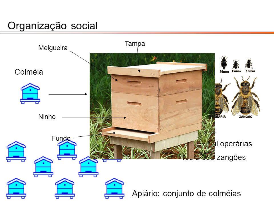 Organização social Apiário: conjunto de colméias Colméia