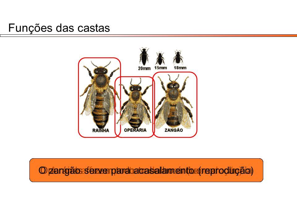 Funções das castas O zangão serve para acasalamento (reprodução)