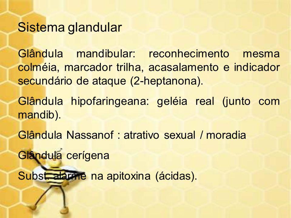 Sistema glandular Glândula mandibular: reconhecimento mesma colméia, marcador trilha, acasalamento e indicador secundário de ataque (2-heptanona).