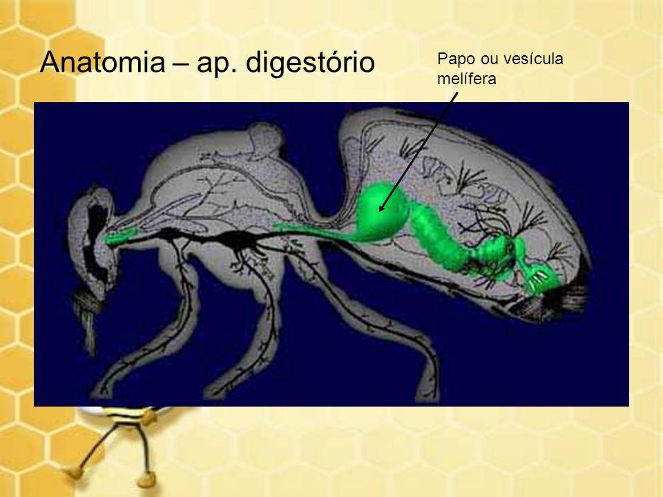 Anatomia – ap. digestório
