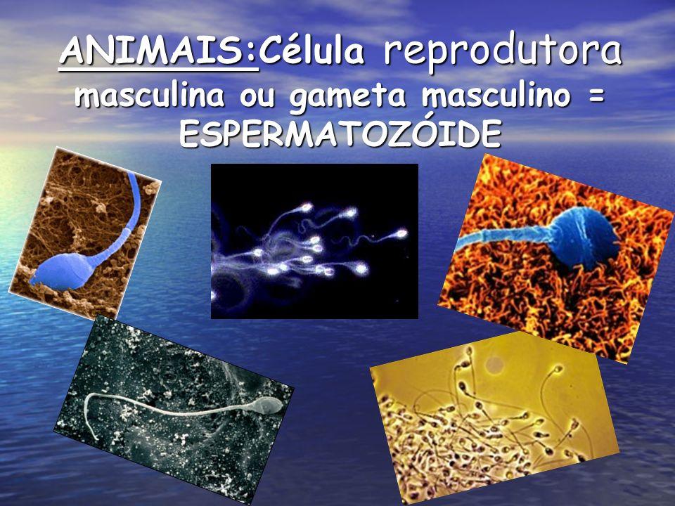 ANIMAIS:Célula reprodutora masculina ou gameta masculino = ESPERMATOZÓIDE