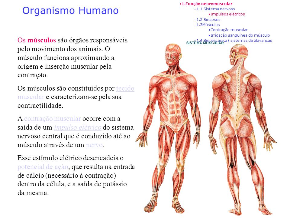 1.Função neuromuscular 1.1 Sistema nervoso. Impulsos elétricos. 1.2 Sinapses. 1.3Músculos. Contração muscular.