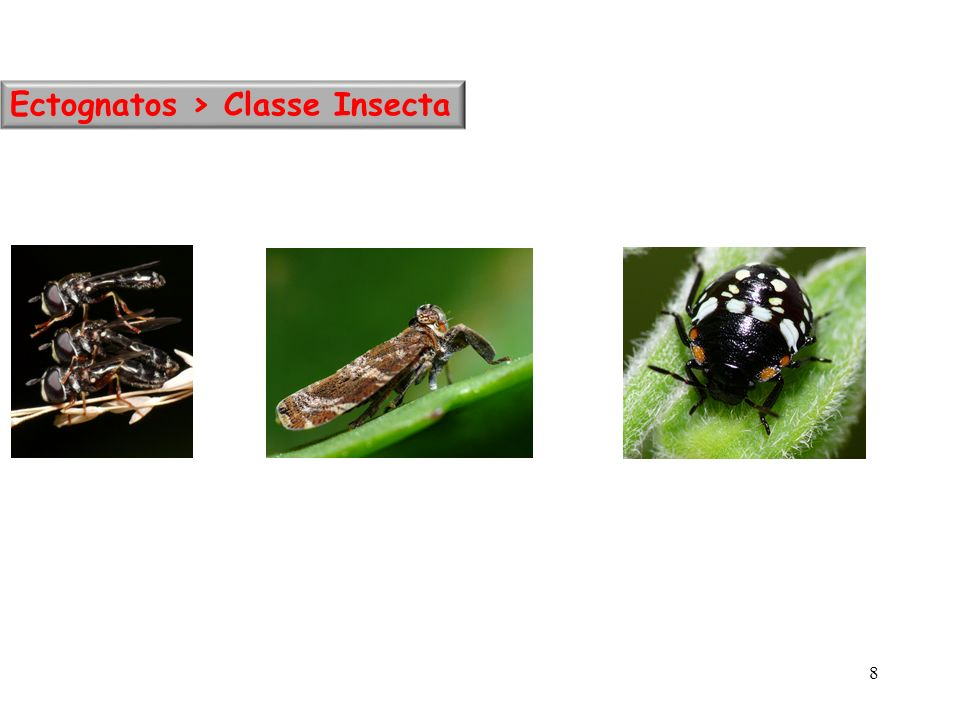 Ectognatos > Classe Insecta
