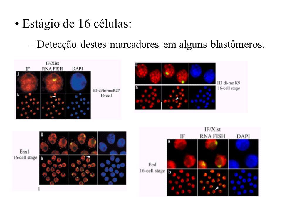 Estágio de 16 células: Detecção destes marcadores em alguns blastômeros.