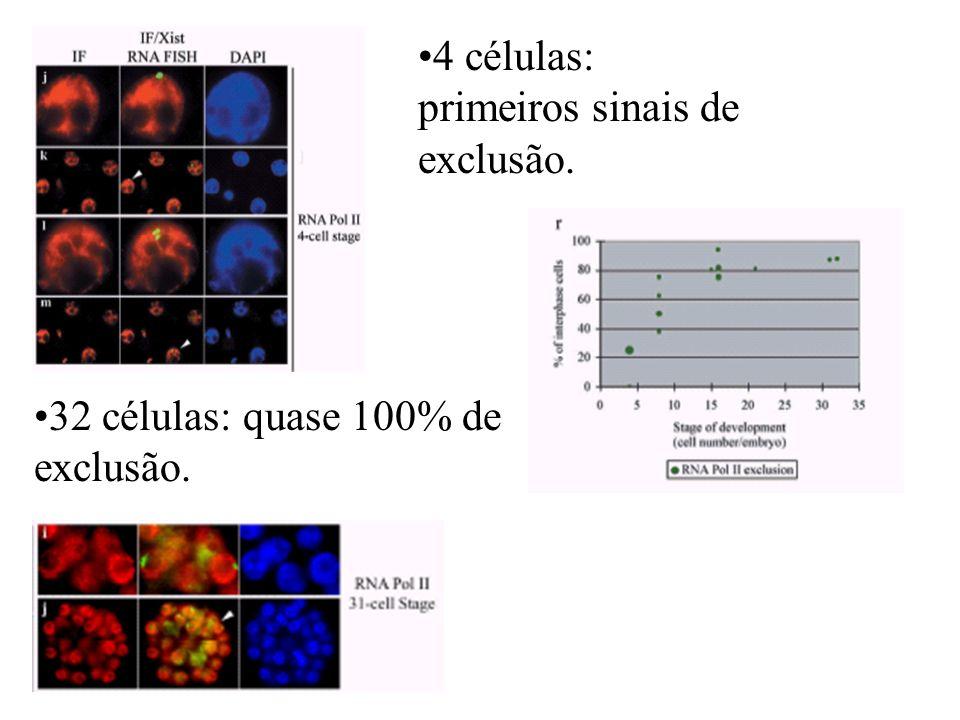 4 células: primeiros sinais de exclusão.