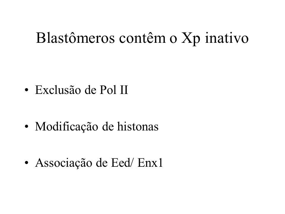 Blastômeros contêm o Xp inativo
