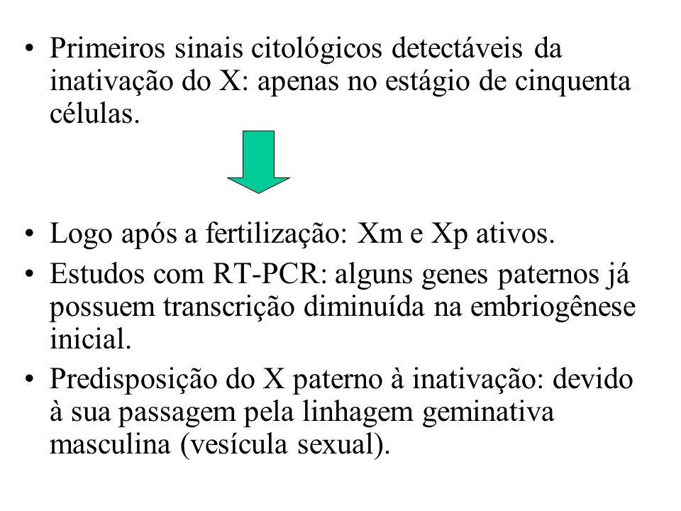 Primeiros sinais citológicos detectáveis da inativação do X: apenas no estágio de cinquenta células.