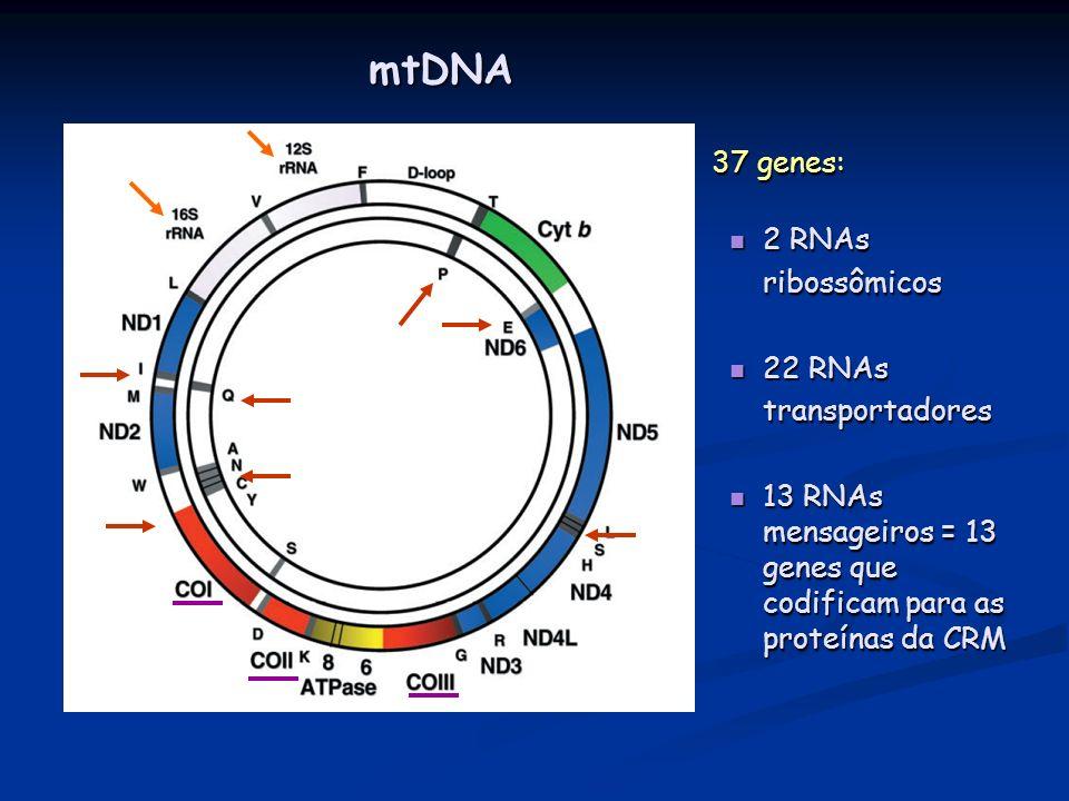 mtDNA 37 genes: 2 RNAs ribossômicos 22 RNAs transportadores