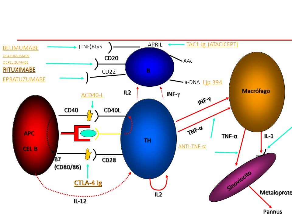 CTLA-4 Ig APRIL TAC1-Ig (ATACICEPT) BELIMUMABE CD20 RITUXIMABE CD22 B