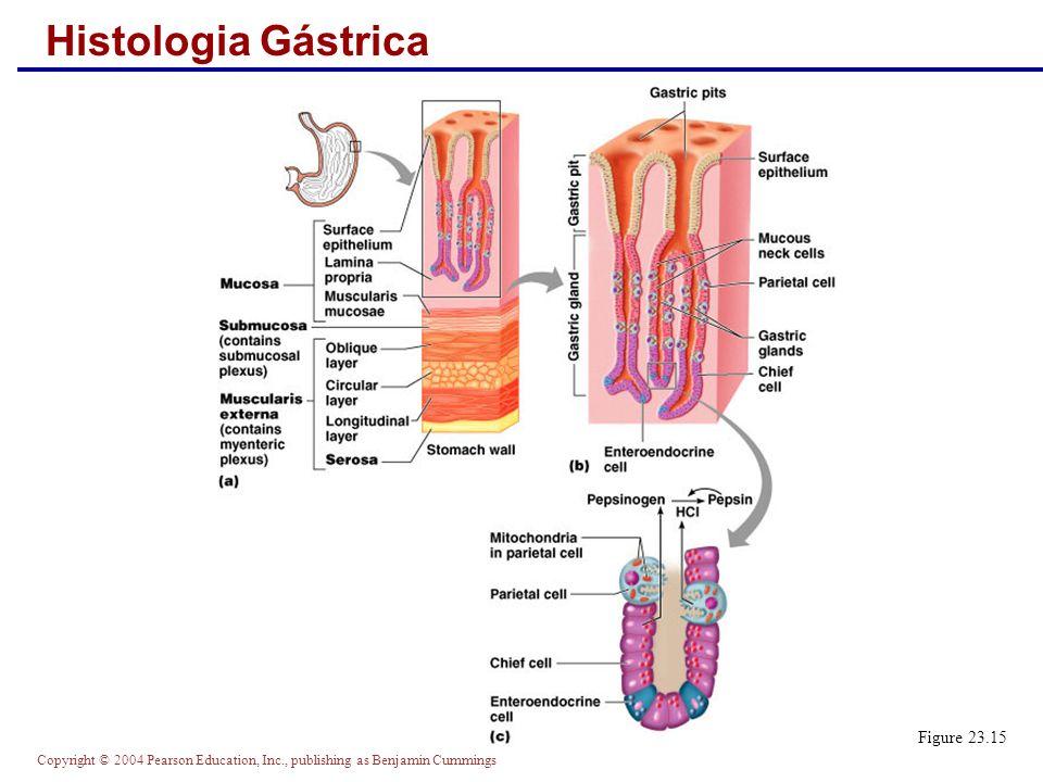 Histologia Gástrica Figure 23.15