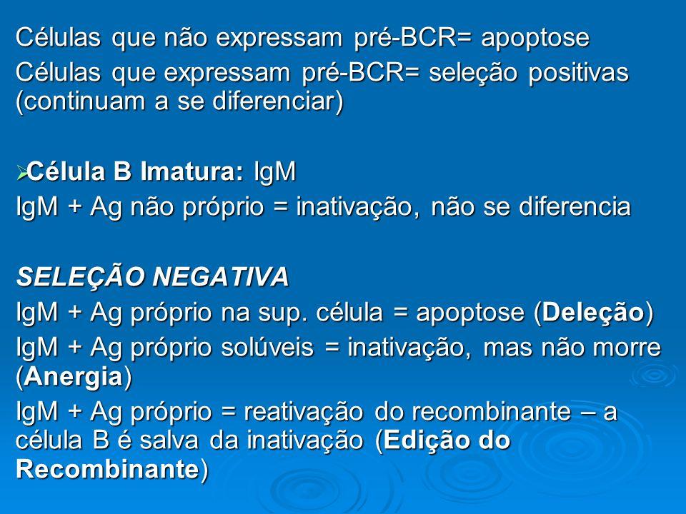 Células que não expressam pré-BCR= apoptose