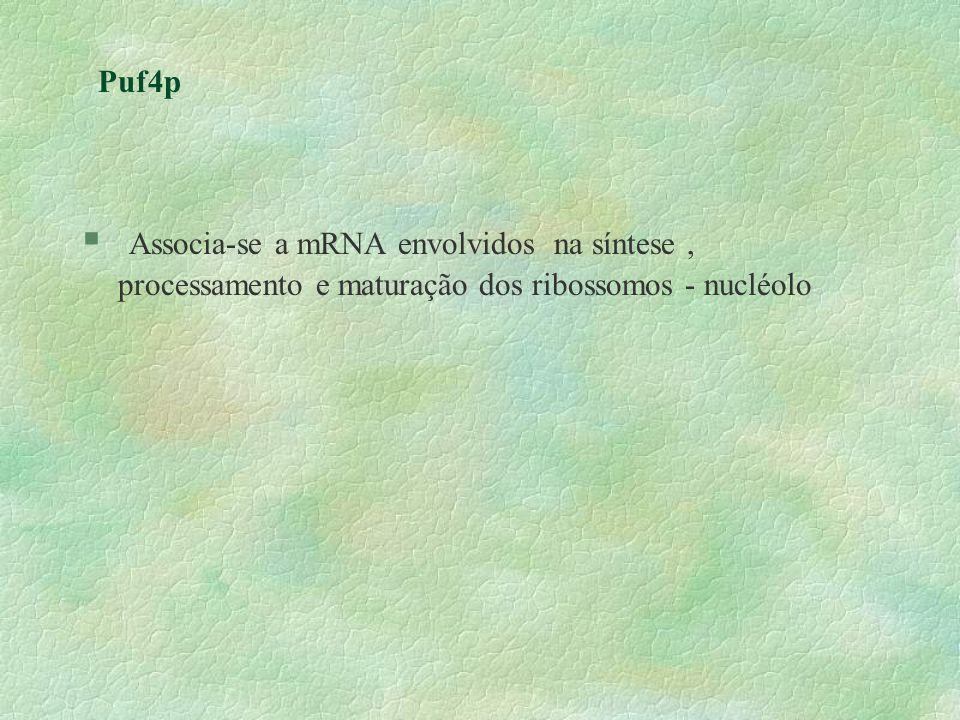 Puf4pAssocia-se a mRNA envolvidos na síntese , processamento e maturação dos ribossomos - nucléolo.