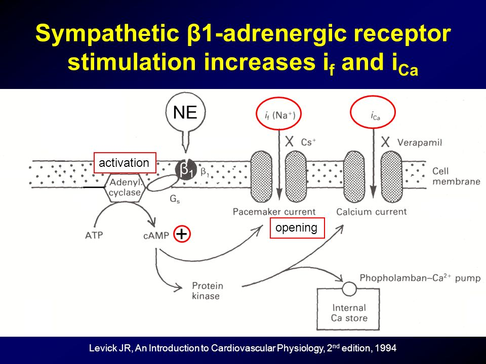 Sympathetic β1-adrenergic receptor stimulation increases if and iCa