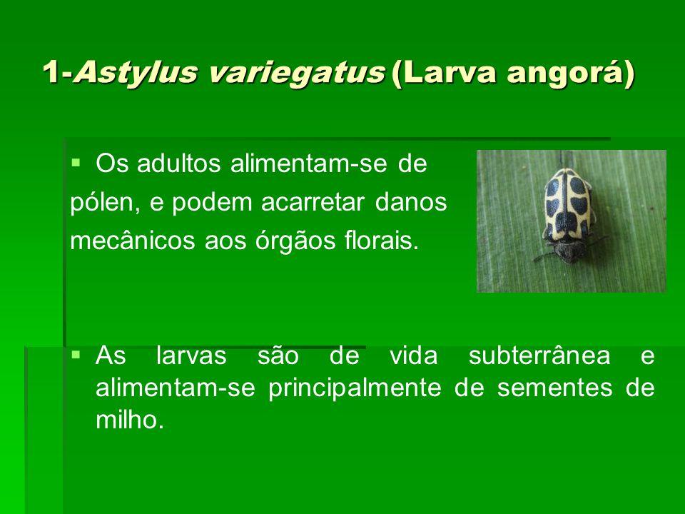 1-Astylus variegatus (Larva angorá)