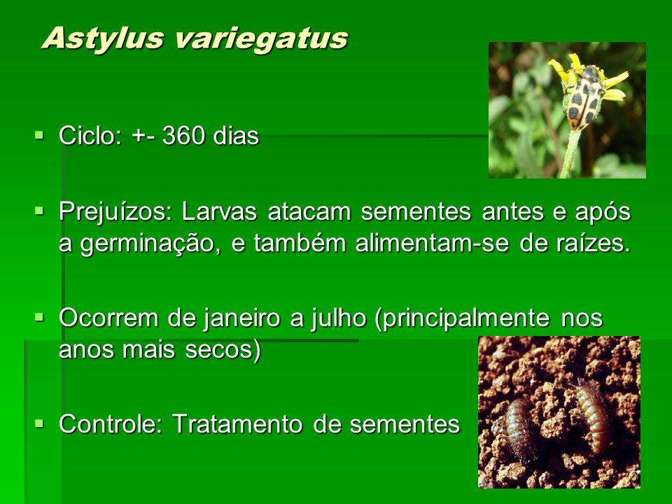 Astylus variegatus Ciclo: +- 360 dias