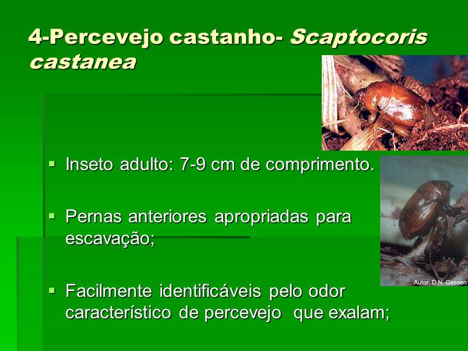 4-Percevejo castanho- Scaptocoris castanea