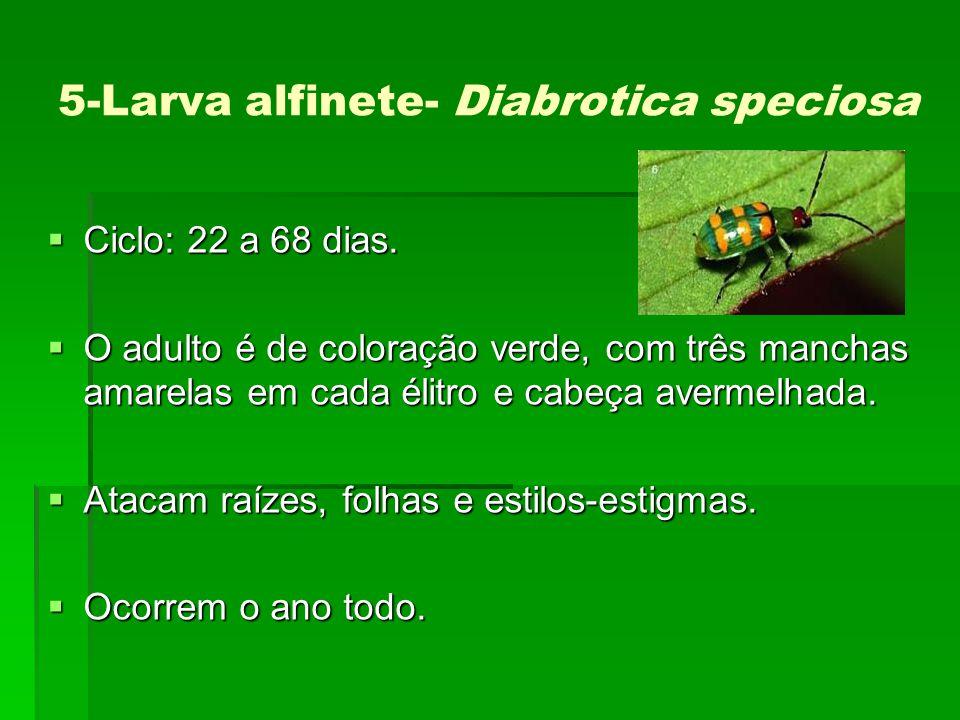 5-Larva alfinete- Diabrotica speciosa