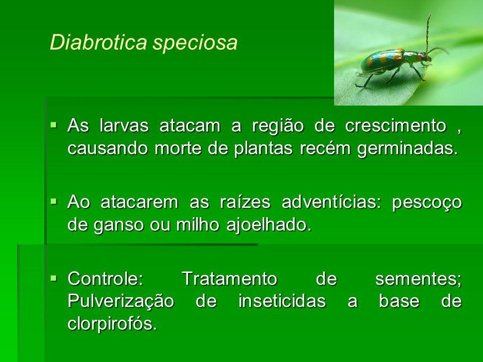 Diabrotica speciosa As larvas atacam a região de crescimento , causando morte de plantas recém germinadas.