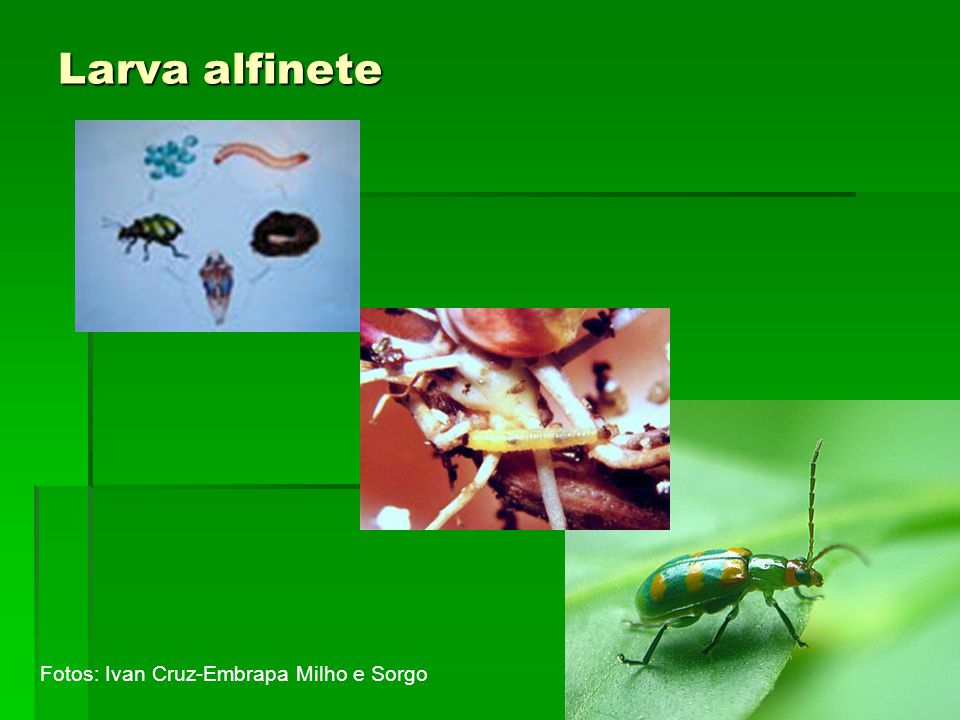 Larva alfinete Fotos: Ivan Cruz-Embrapa Milho e Sorgo