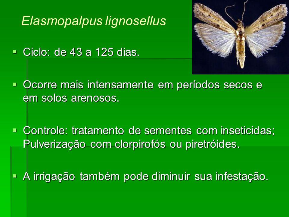 Elasmopalpus lignosellus