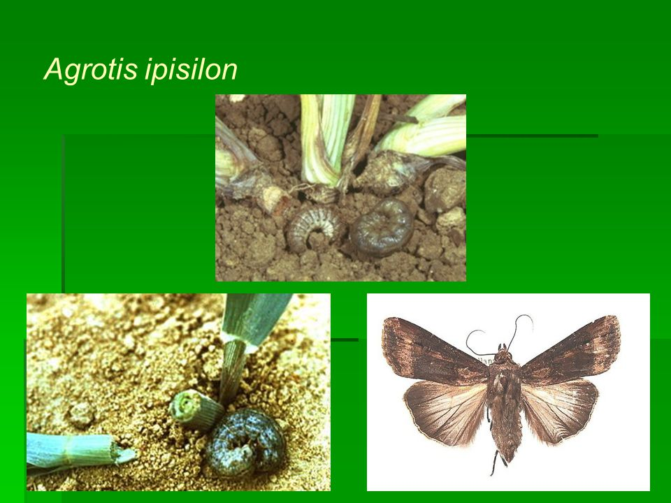 Agrotis ipisilon