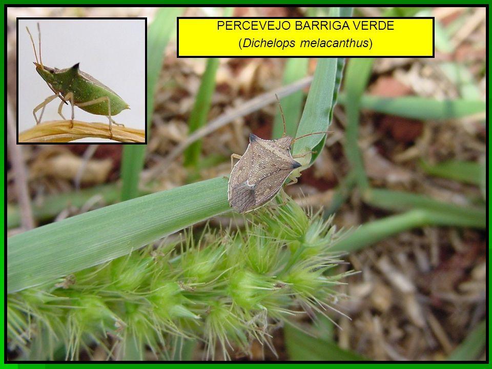 PERCEVEJO BARRIGA VERDE (Dichelops melacanthus)