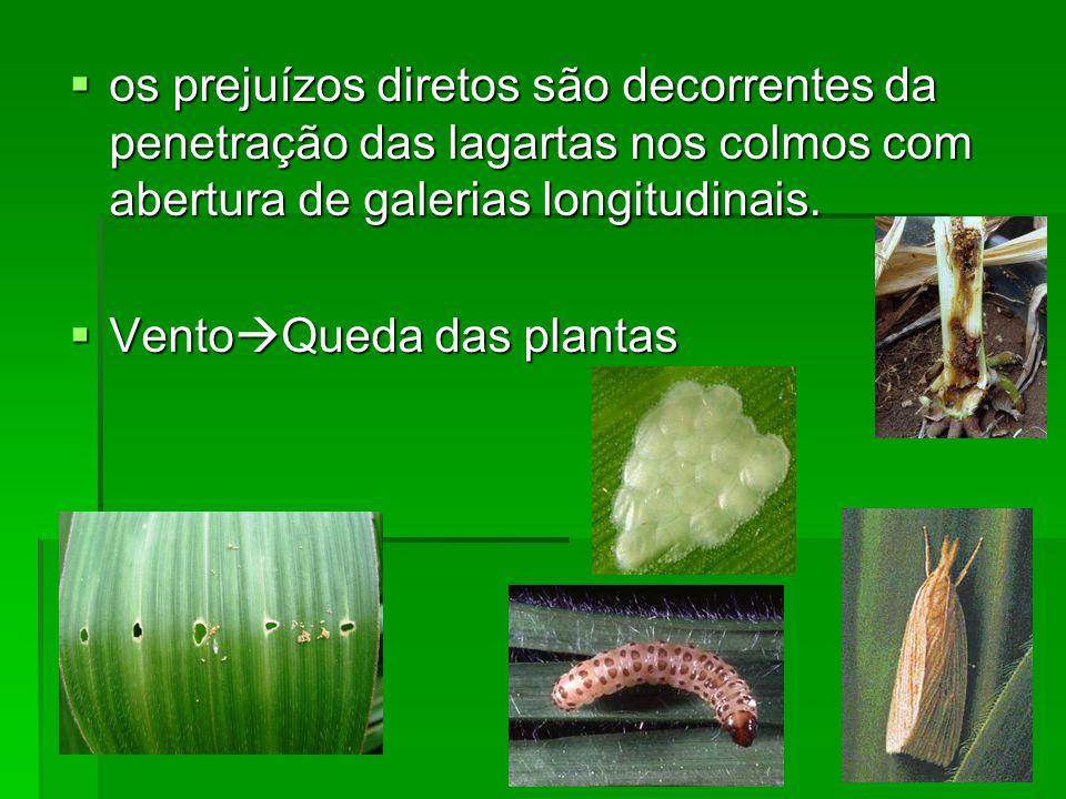 os prejuízos diretos são decorrentes da penetração das lagartas nos colmos com abertura de galerias longitudinais.