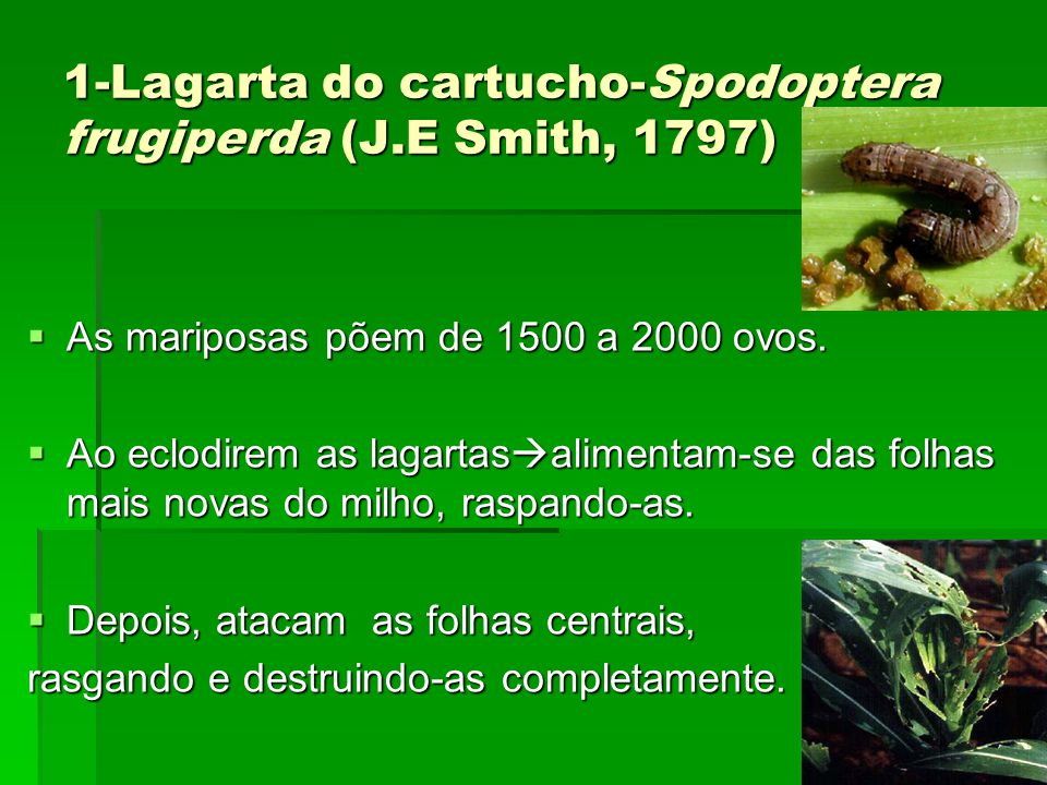 1-Lagarta do cartucho-Spodoptera frugiperda (J.E Smith, 1797)