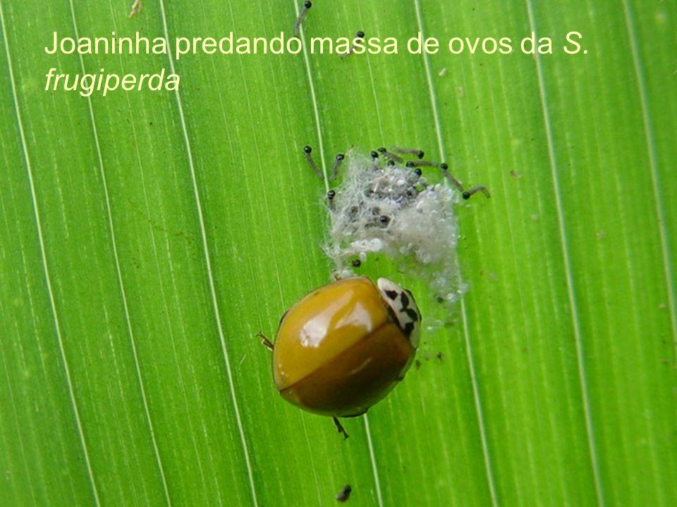Joaninha predando massa de ovos da S. frugiperda