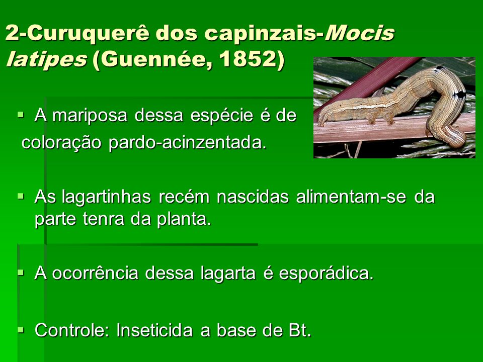 2-Curuquerê dos capinzais-Mocis latipes (Guennée, 1852)