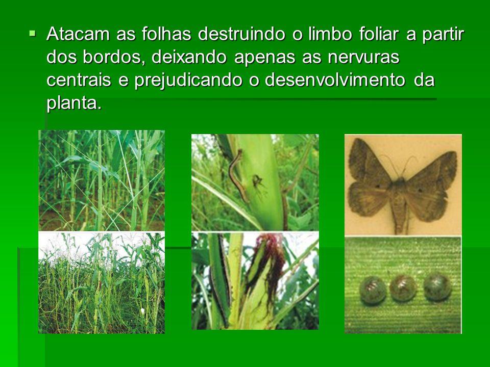 Atacam as folhas destruindo o limbo foliar a partir dos bordos, deixando apenas as nervuras centrais e prejudicando o desenvolvimento da planta.