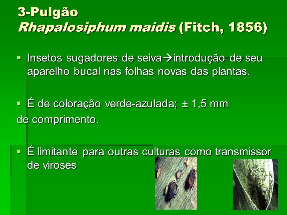 3-Pulgão Rhapalosiphum maidis (Fitch, 1856)