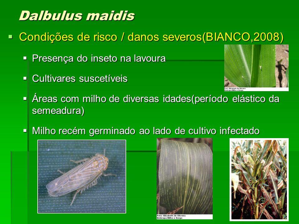 Dalbulus maidis Condições de risco / danos severos(BIANCO,2008)