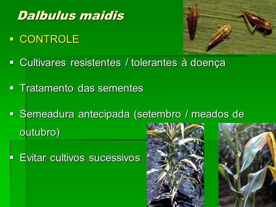 Dalbulus maidis CONTROLE Cultivares resistentes / tolerantes à doença