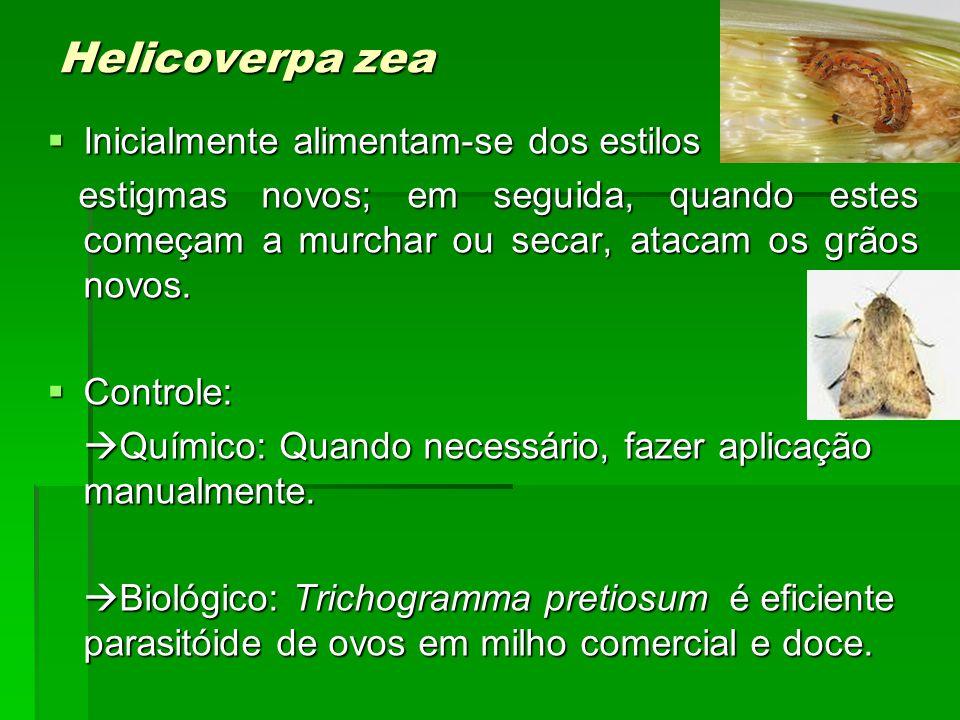 Helicoverpa zea Inicialmente alimentam-se dos estilos