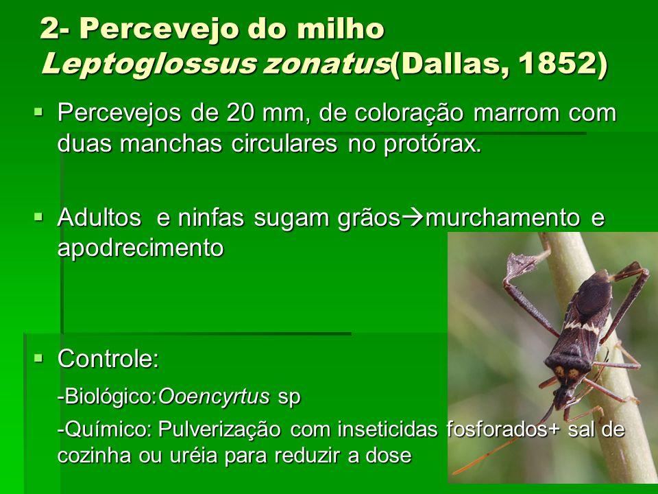 2- Percevejo do milho Leptoglossus zonatus(Dallas, 1852)