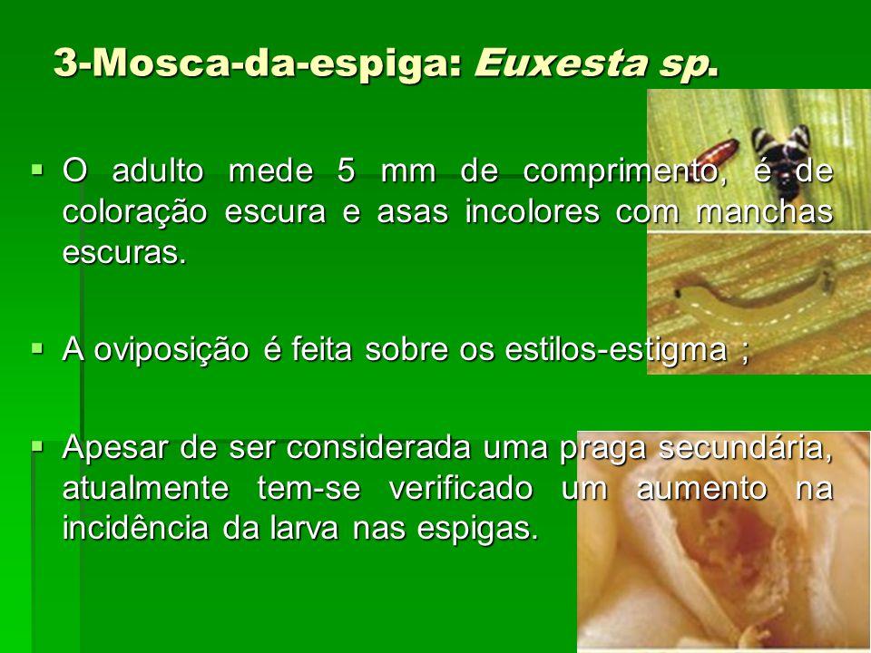 3-Mosca-da-espiga: Euxesta sp.