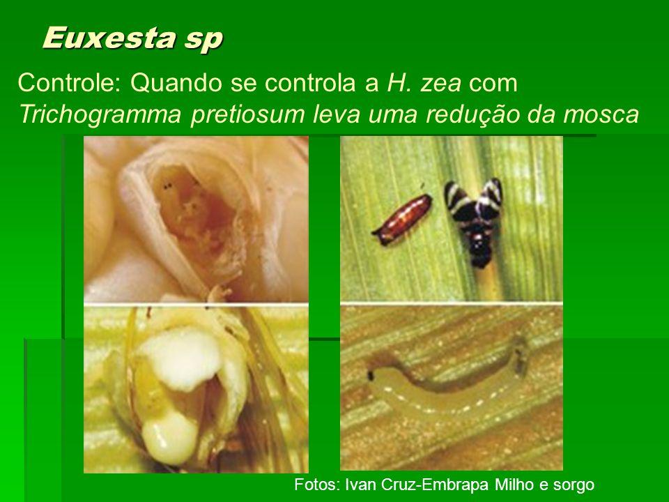 Euxesta sp Controle: Quando se controla a H. zea com Trichogramma pretiosum leva uma redução da mosca.