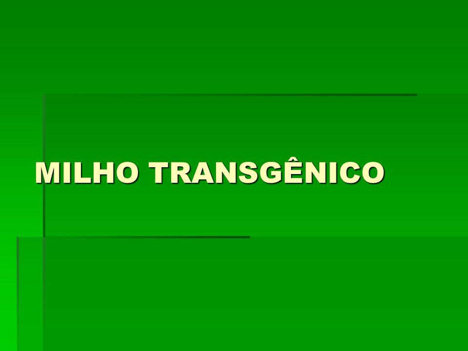 MILHO TRANSGÊNICO
