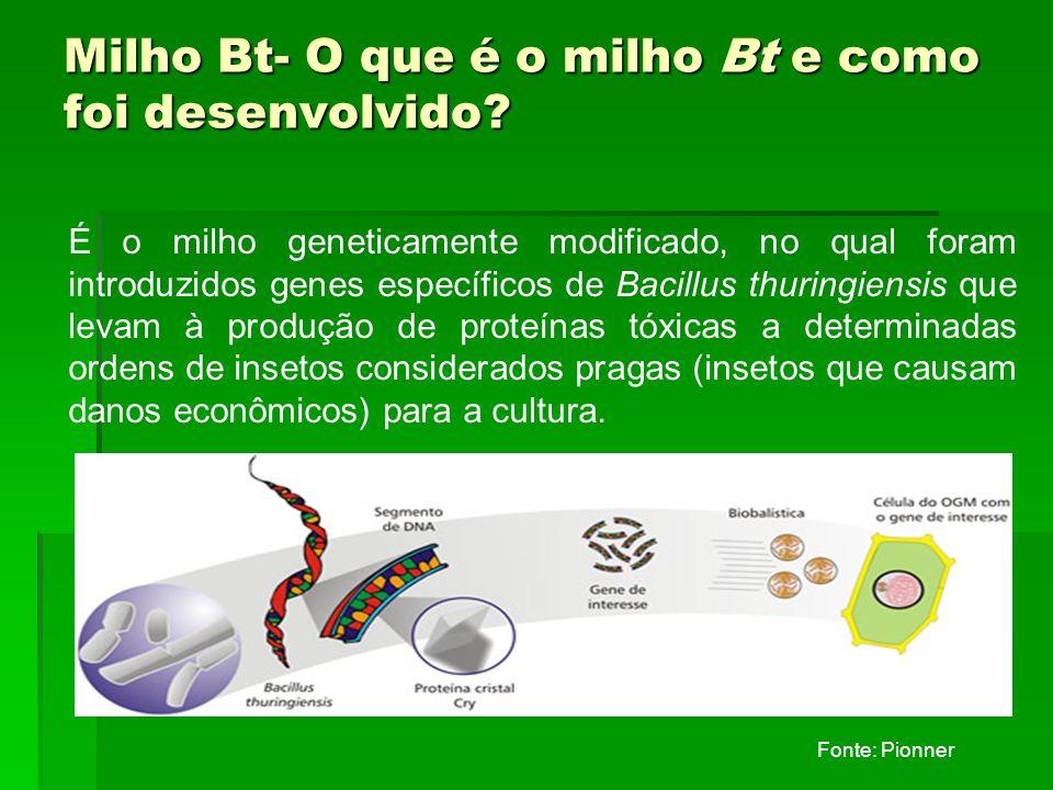 Milho Bt- O que é o milho Bt e como foi desenvolvido