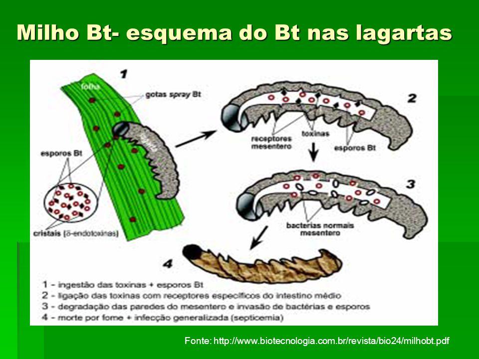 Milho Bt- esquema do Bt nas lagartas