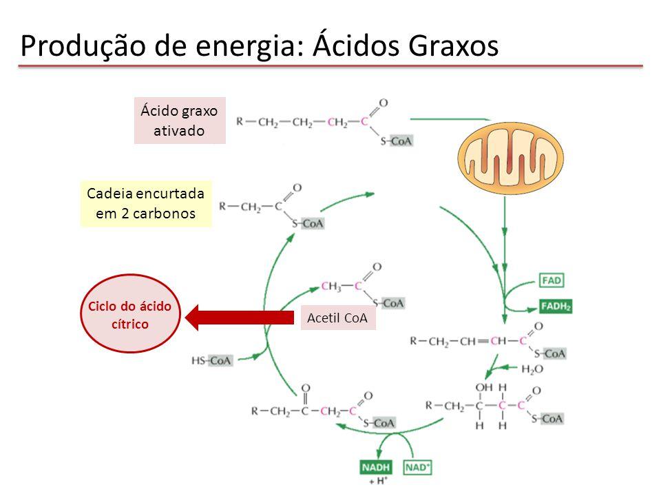 Produção de energia: Ácidos Graxos