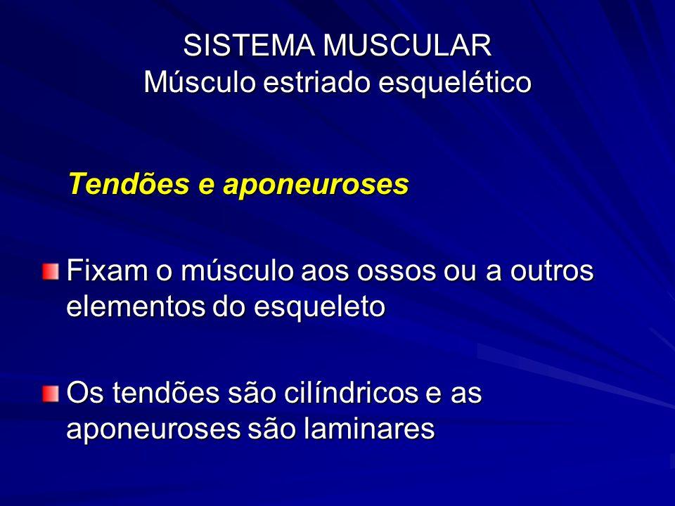 SISTEMA MUSCULAR Músculo estriado esquelético