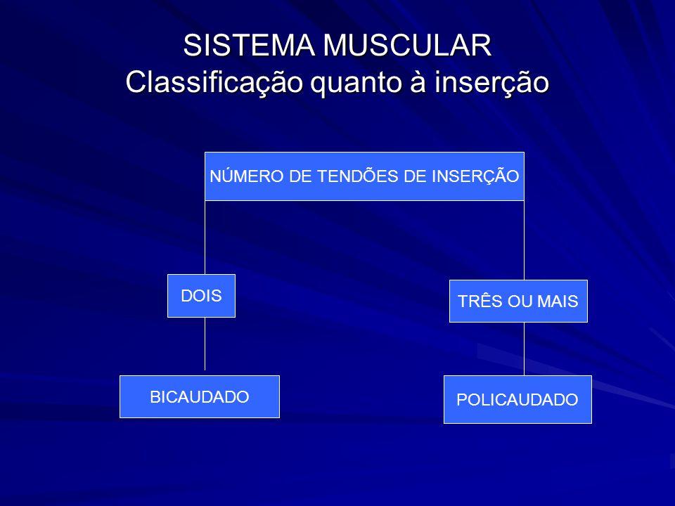 SISTEMA MUSCULAR Classificação quanto à inserção