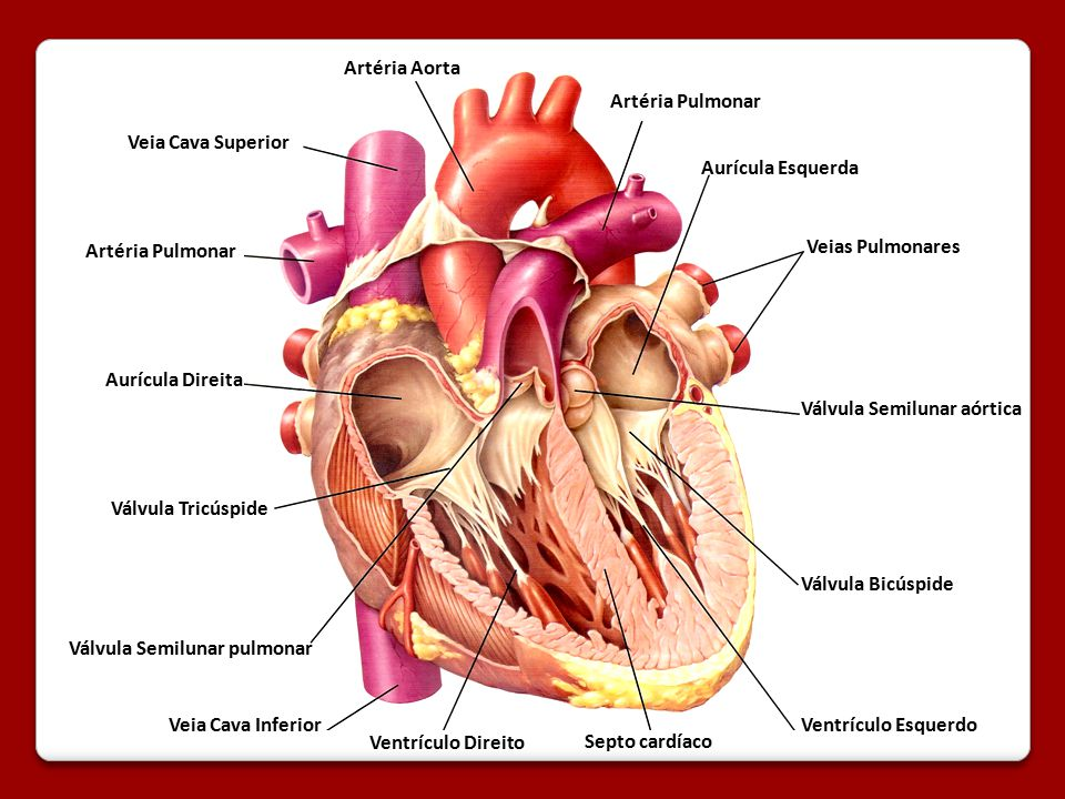 Artéria Aorta Artéria Pulmonar. Veia Cava Superior. Aurícula Esquerda. Artéria Pulmonar. Veias Pulmonares.