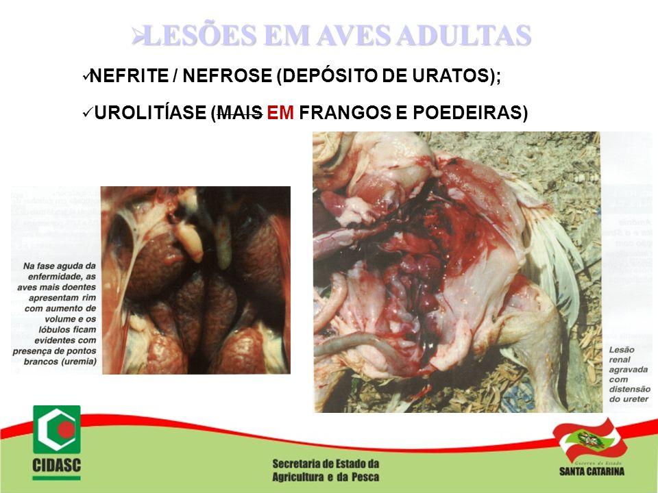 LESÕES EM AVES ADULTAS NEFRITE / NEFROSE (DEPÓSITO DE URATOS);