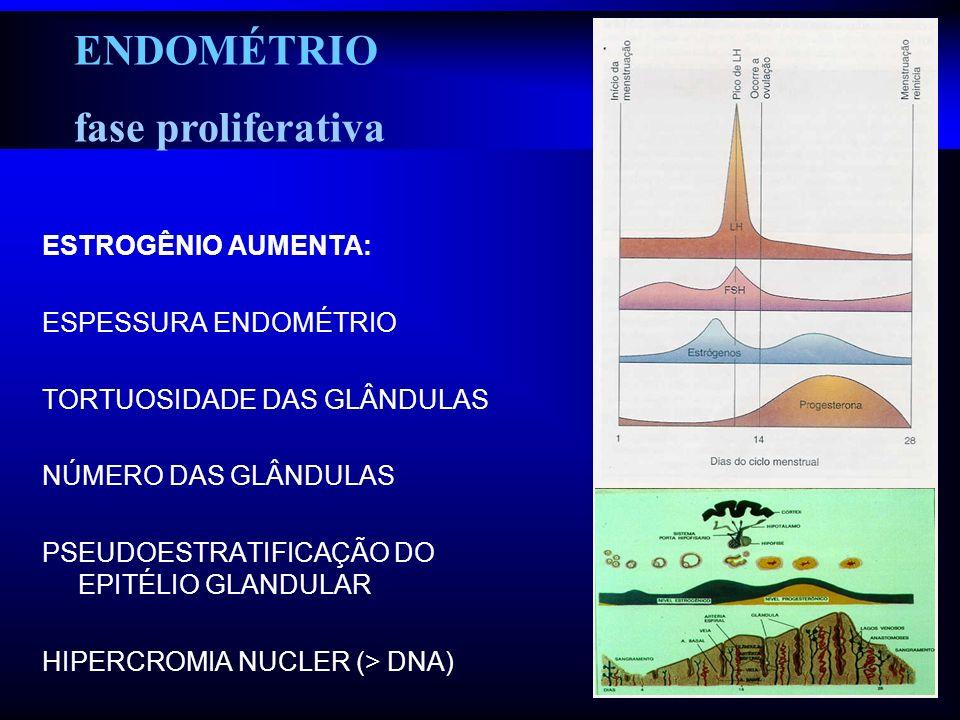 ENDOMÉTRIO fase proliferativa ESTROGÊNIO AUMENTA: ESPESSURA ENDOMÉTRIO