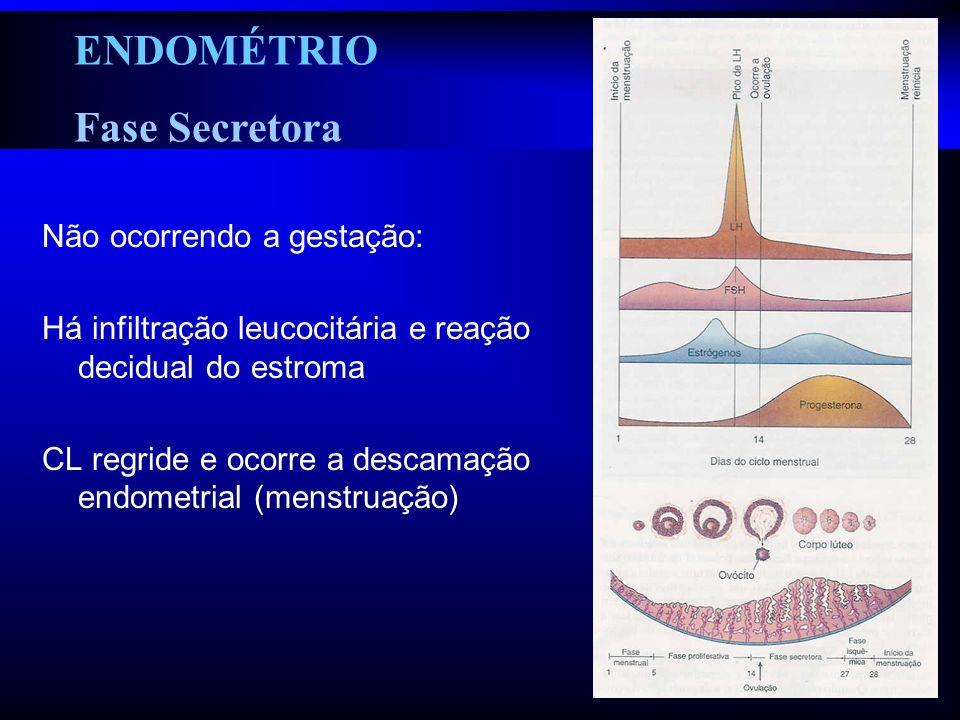 ENDOMÉTRIO Fase Secretora Não ocorrendo a gestação: