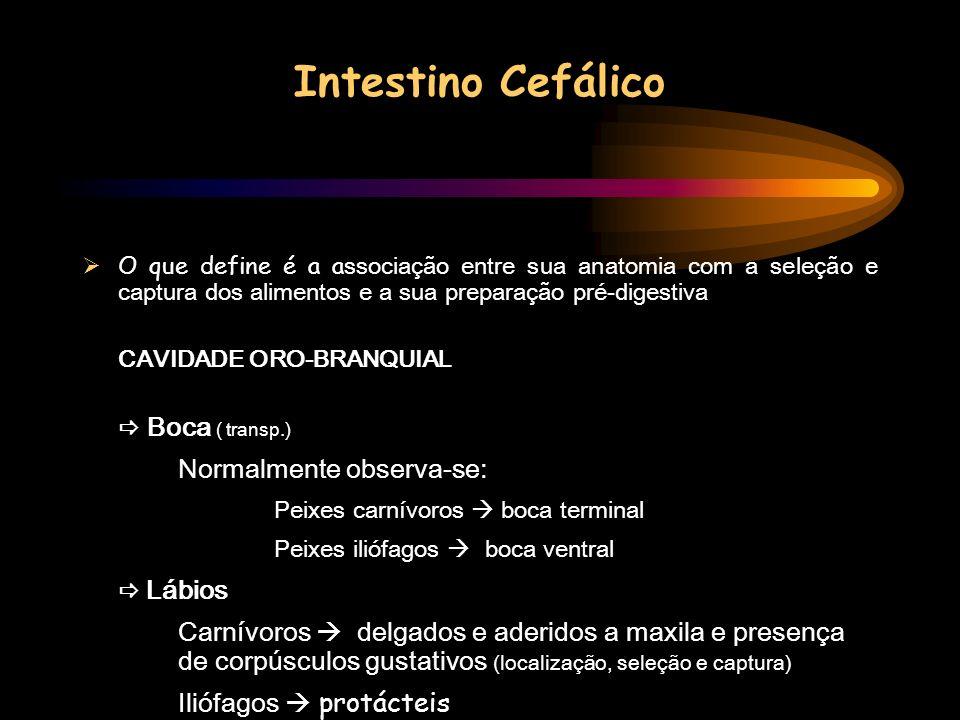 Intestino Cefálico Normalmente observa-se: